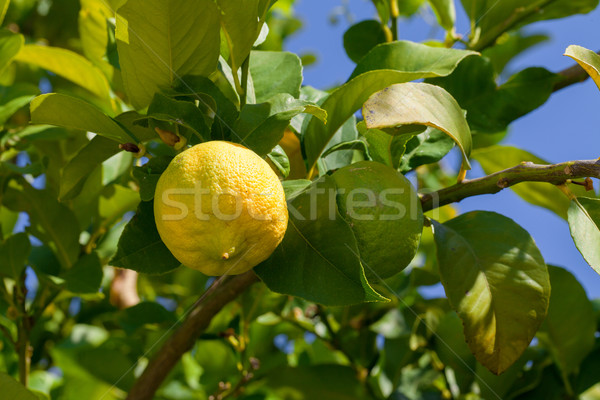 Yellow and green lemons hanging on tree Stock photo © Discovod