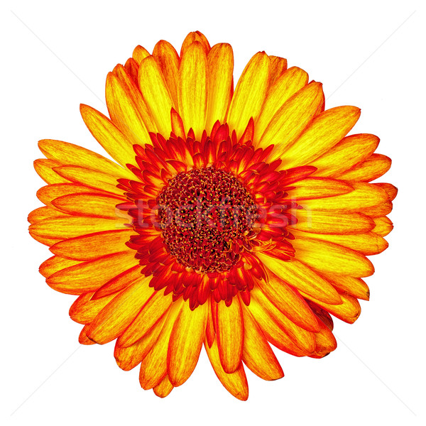 Yellow-Red Gerbera Flower Isolated Stock photo © Discovod