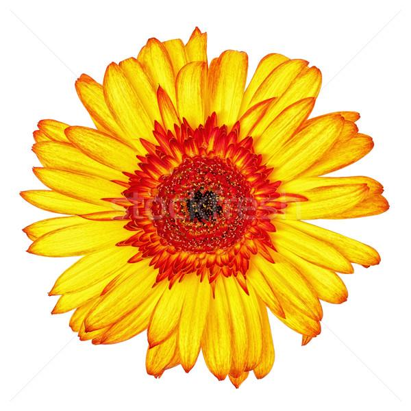 Flor isolado branco fundo laranja planta Foto stock © Discovod