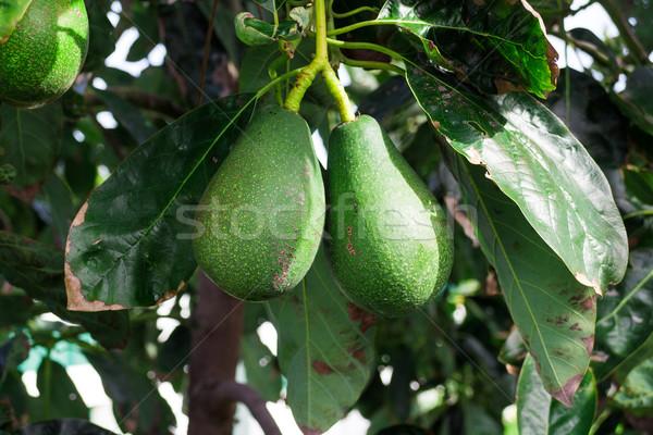 Bos avocado opknoping vruchten Stockfoto © Discovod