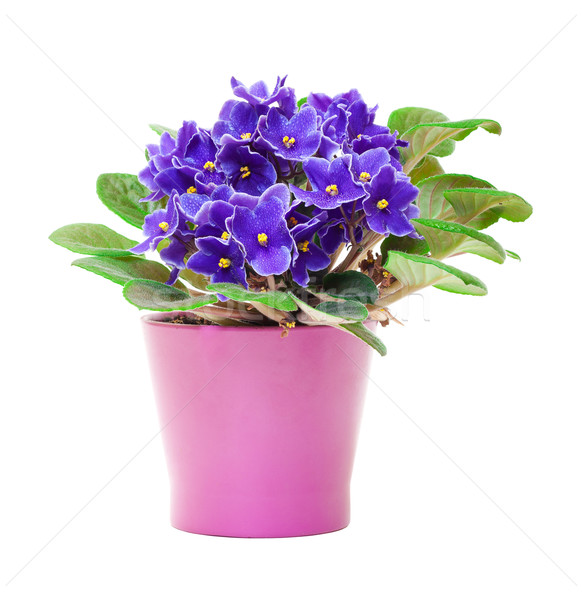 Beautiful Purple Violet Flowers in flowerpot Stock photo © Discovod
