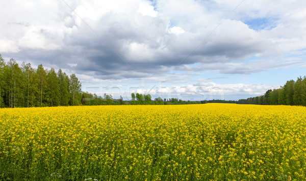 Field of Bright Yellow rapeseed in front of a forest Stock photo © Discovod