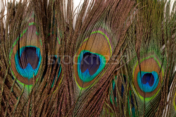 Colorido pavão pena pássaro verde animal Foto stock © Discovod