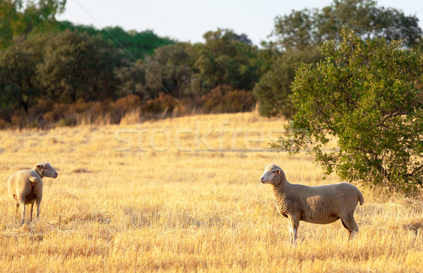 Sheep grazing in a paddock Stock photo © Discovod