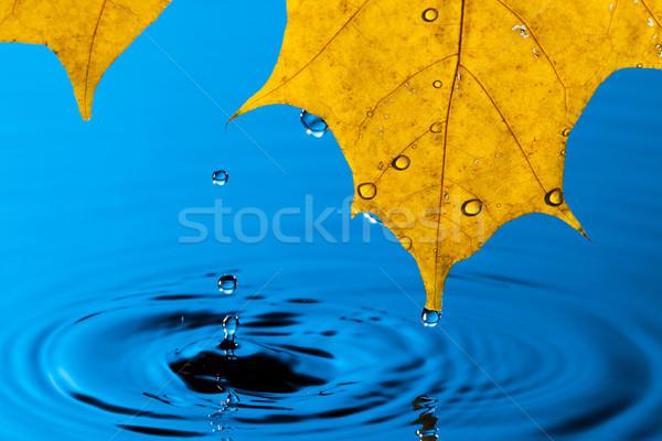 Zdjęcia stock: żółty · liści · kropla · wody · refleksji · wiosną · charakter