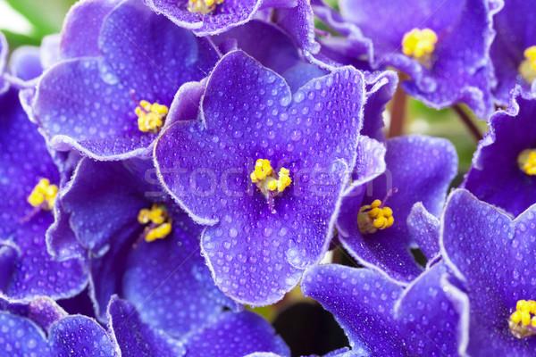 Belle pourpre violette fleurs fleur Photo stock © Discovod