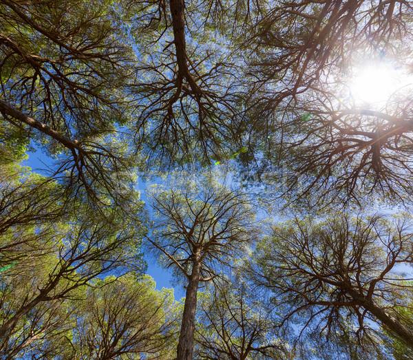 Grandangolo view pino alberi cielo blu cielo Foto d'archivio © Discovod