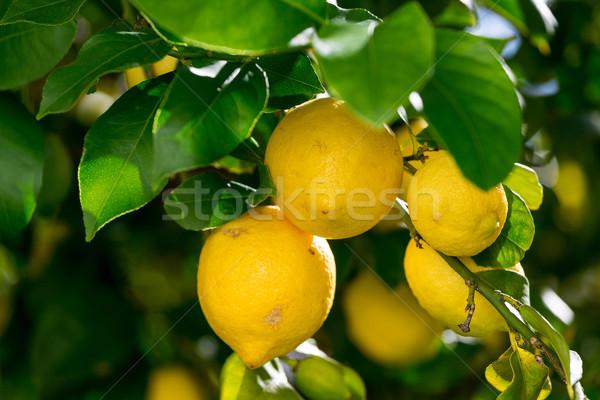 Bunch of Vibrant Ripe Lemons on Tree Stock photo © Discovod
