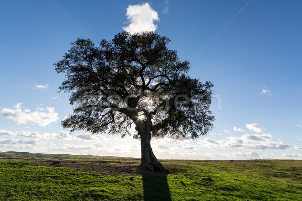 Beautiful Landscape with a Lonely Tree, sun backlit Stock photo © Discovod