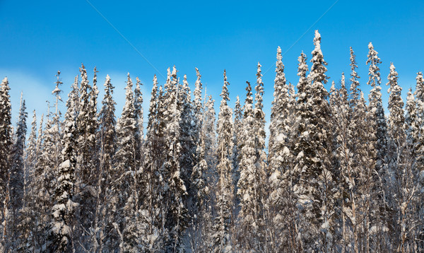 snow-covered fir tree Stock photo © Discovod