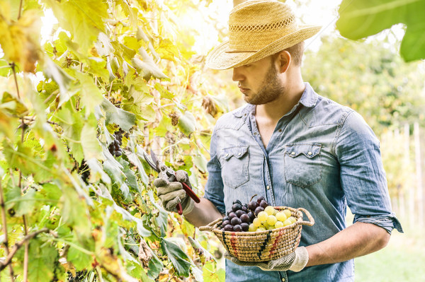 Young winemaker cutting grape twigs of biological San Giovese gr Stock photo © DisobeyArt