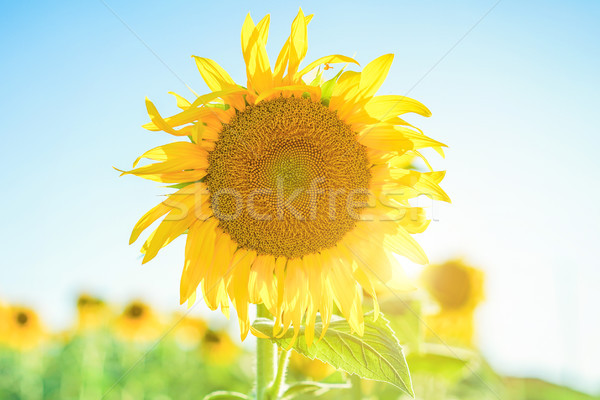 Field of blooming sunflowers with back sun light - Agricolture,f Stock photo © DisobeyArt