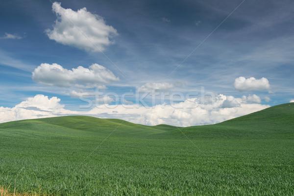 Wheat fields Stock photo © disorderly