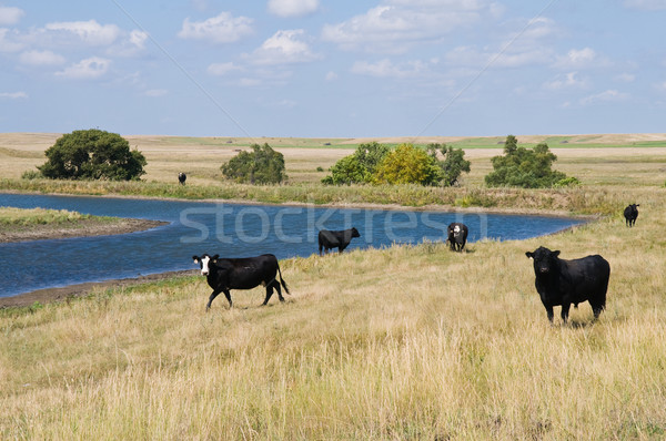 Cattle Stock photo © disorderly