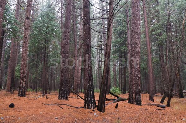 Wet woods Stock photo © disorderly