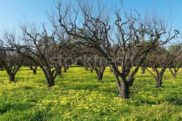 Frühlingsblumen unfruchtbar Obst Bäume Gras Bauernhof Stock foto © disorderly