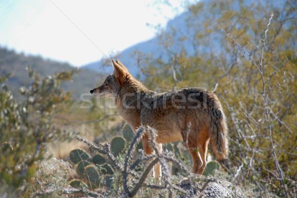 Coyote Stock photo © disorderly