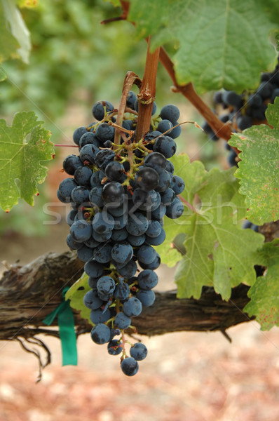 Wine grapes Stock photo © disorderly
