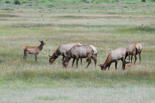 Elk Stock photo © disorderly