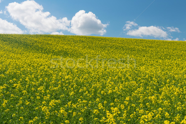 Canola Stock photo © disorderly