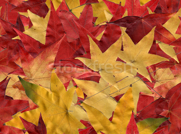 Autumn leaves Stock photo © disorderly