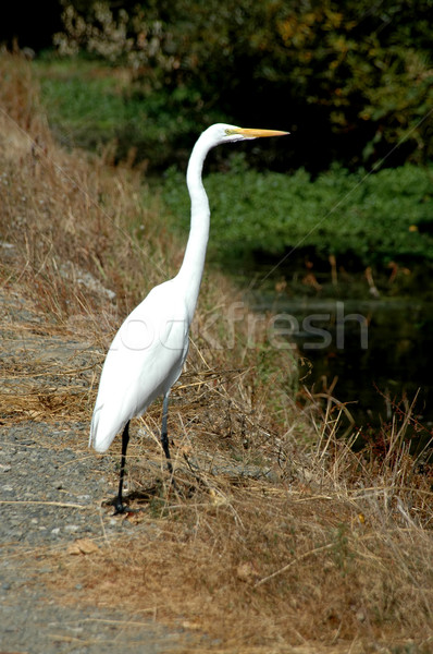 Great egret Stock photo © disorderly