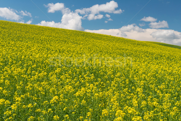 Stock photo: Canola