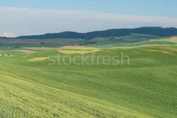 холмы покрытый пшеницы полях фермы сельского хозяйства Сток-фото © disorderly