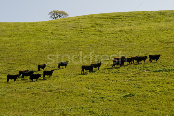 Cows Stock photo © disorderly
