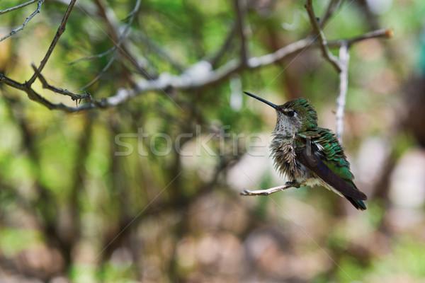 Hummingbird крошечный птица небольшой тварь Сток-фото © disorderly