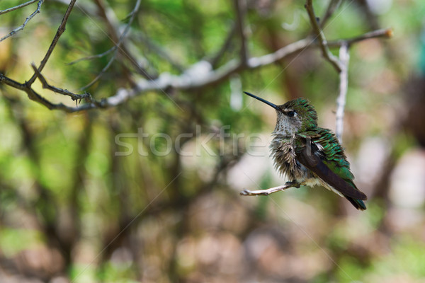 Beija-flor pássaro pequeno criatura Foto stock © disorderly