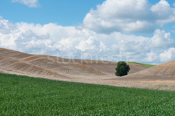 Tree and wheat Stock photo © disorderly