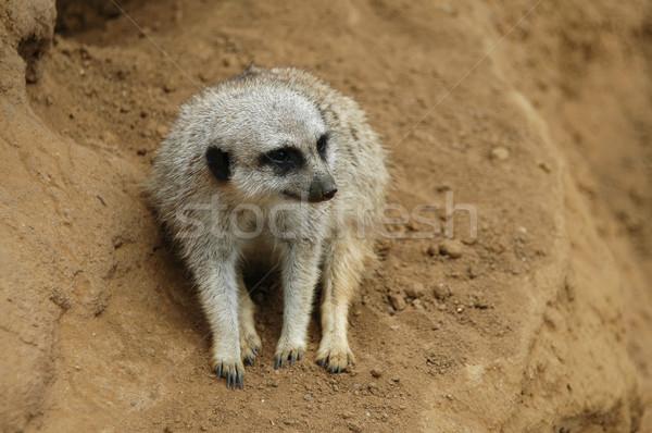 Meerkat Stock photo © disorderly