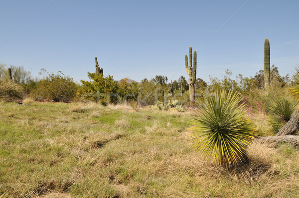 Woestijn cactus phoenix Arizona gras plant Stockfoto © disorderly