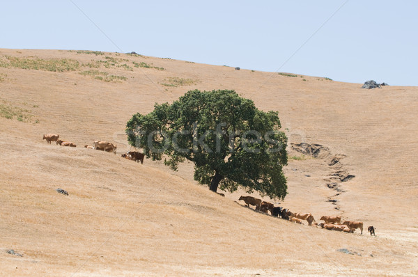 скота вокруг дерево области синий Сток-фото © disorderly