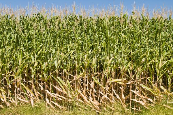 Kukoricamező sűrű kék ég farm kukorica mezőgazdaság Stock fotó © disorderly