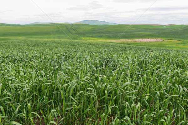 Stock photo: Wheat fields