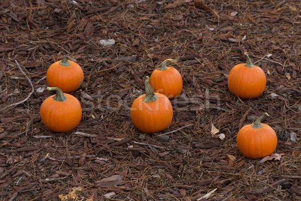 Pumpkins Stock photo © disorderly