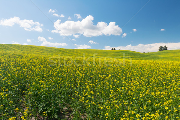 Canola Stock photo © disorderly
