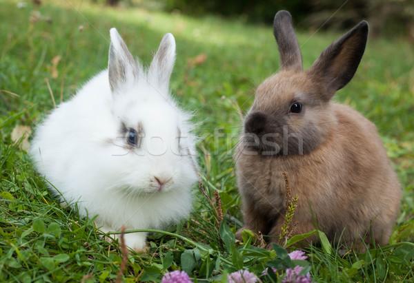 Konijnen gras baby natuur konijn goud Stockfoto © djemphoto