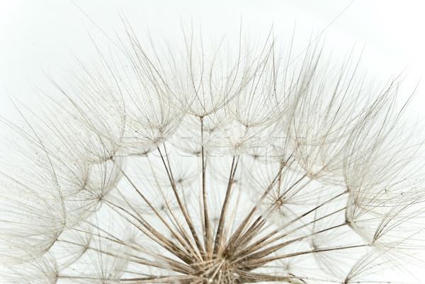 Close-up of dandelion seed Stock photo © djemphoto