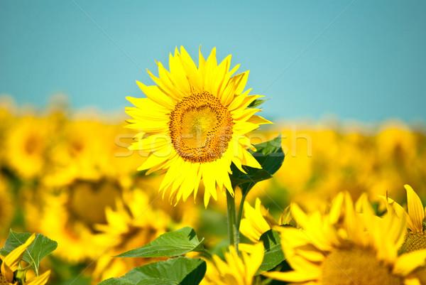 Zonnebloemen Stockfoto © djemphoto