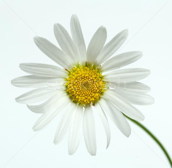 Kamille bloem voorjaar natuur achtergrond zomer Stockfoto © djemphoto