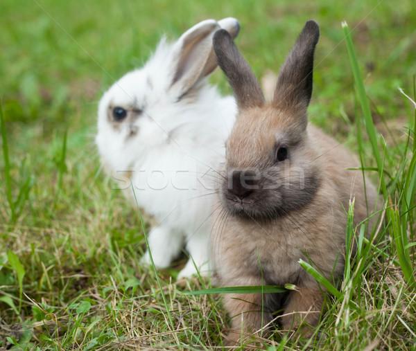 Tavşanlar çim bebek doğa tavşan altın Stok fotoğraf © djemphoto