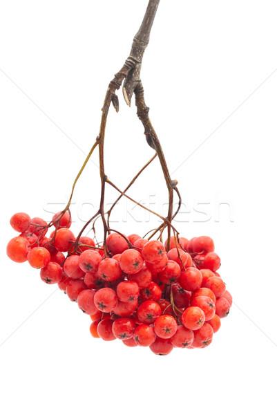 Geïsoleerd witte vruchten najaar plant mooie Stockfoto © djemphoto