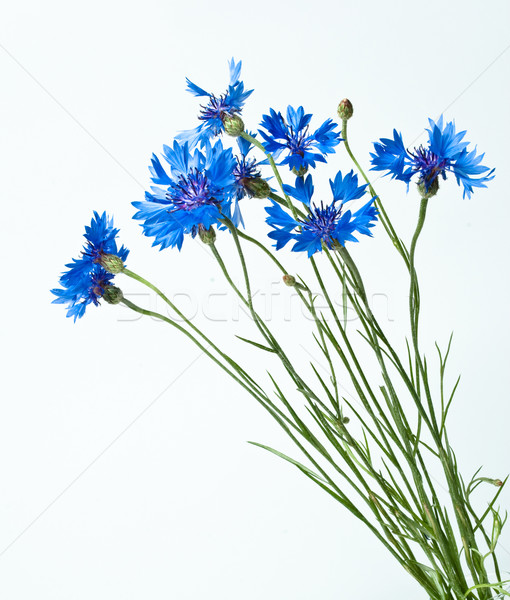 cornflowers Stock photo © djemphoto