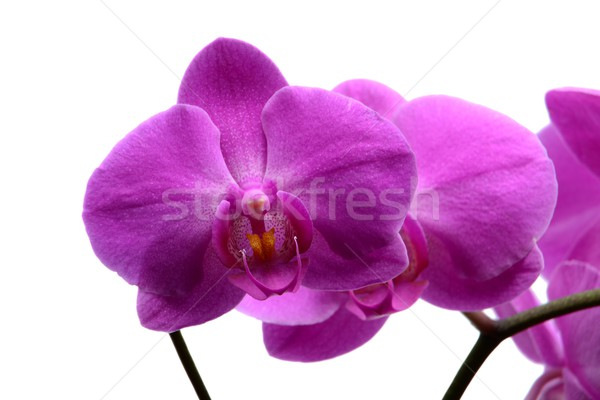 Stockfoto: Macro · shot · roze · orchidee · geïsoleerd