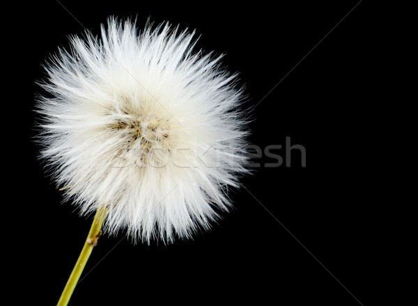 Mature efflorescing poisonous sonchus arvensis on black as dandelion Stock photo © dla4