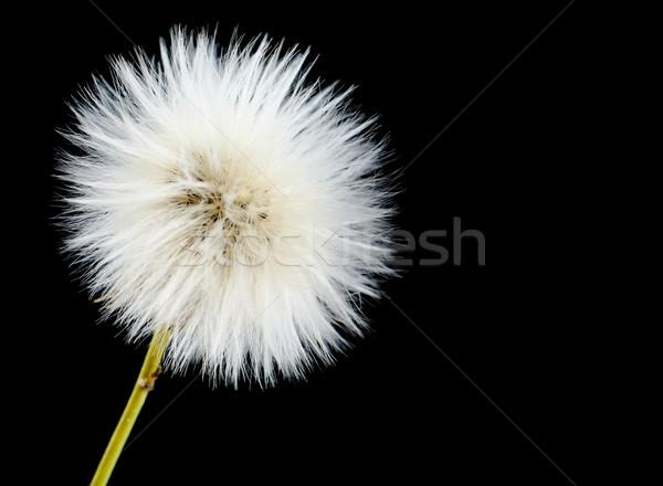 érett mérgező fekete pitypang virágzó háttér Stock fotó © dla4