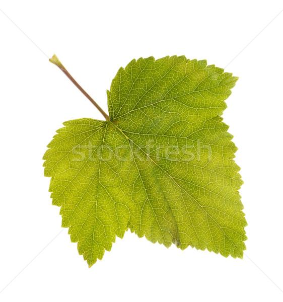 Stock photo: Photo leaf of blackcurrant ablaze with light
